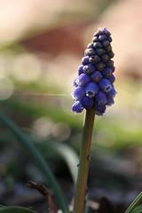Grape hyacinth (kasia-aus) Tags: blue plant flower macro australia canberra 2008 act grapehyacinth