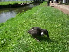 Enkhuizen - Zuiderzee museum (pinktigger) Tags: holland duck netherland enkhuizen