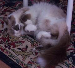Mr.Tips (Rebeak) Tags: catnipaddicts