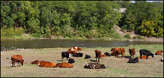 Cows (W.Grabar) Tags: cow cattle cows russia россия rostovregion ростовскаяобласть rostovprovince