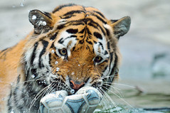 Playing with the ball 2 (Tambako the Jaguar) Tags: wild male water cat ball zoo schweiz switzerland football big nikon bath feline play stripes tiger zurich young kitty coto son bigcat zrich wildcat tigris tigre striped felid d300 panthera pantheratigris flickrlovers vosplusbellesphotos