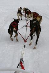 Full Speed Ahead (dbcnwa) Tags: usa snow dogs animal animals alaska glacier skagway sledding musher mushing sled dogsledding denverglacier dogsled alaskanhusky dogcamp alaskaicefieldexpeditions