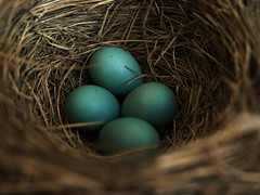 Robin's Nest (jamalrob) Tags: canada robin olympus eggs naturelovers e510 1260