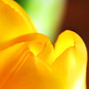 intrinsic.... (janoid) Tags: flower love yellow bravo heart warmth tulip heat xoxoxox infinestyle hugstoyousweetie janslightstyle janalicious janoidmagic janoidsstyle haveawarmwonderfulweek