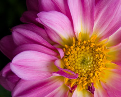 imperfect, complex (nosha) Tags: pink dahlia light flower nature beauty yellow nikon purple nj naturallight september 2008 complex mercercounty imperfect d40 nosha