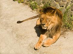 Kyiv zoo. Lion