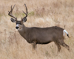 Proud (BigSkyKatie) Tags: autumn fall proud point big 10 5 deer antlers rack buck mule nationalbisonrange nationalwildliferefuge 5x5 5point blacktail bigskycountry naturesfinest nbr 10point specanimal mulie katielasallelowery moiesemontana