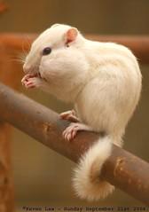 I'm Stuffed.... (law_keven) Tags: england white animal kent bokeh chipmunk critters wingham winghamwildlifepark platinumheartaward