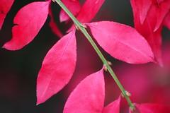 Autumn Red (Heaven`s Gate (John)) Tags: blue autumn red england sky tree nature colors leaves season botanical leaf birmingham colours multicolors birminghambotanicalgardens autumnred multicolours johndalkin heavensgatejohn top20red