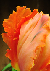 Parrot Tulip Orange Favorite (digsinthedirt) Tags: flowers summer favorite orange plants plant flower macro green nature beautiful up closeup garden spring pretty different close artistic unique grow parrot special tulip bloom thumb fringed blooms gardener greenthumb grower