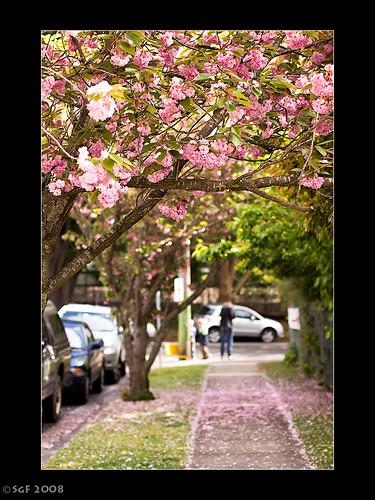 Leura Cherry Blossoms, NSW