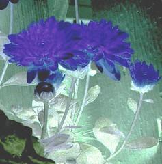 Blumumers (LeClan Capritarius) Tags: flowers macro leaves yellow fleurs canon fence garden landscape mums negative plantae chrysanthemum backlighting anthemideae magnoiopsida asteraes
