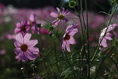 "Transparent petal""pink"" (KOROPPY) Tags: pink autumn flower tokyo   cosmos showakinenpark    nikond80 nikkor35mm12 opcvol7"