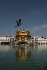 Golden Temple - my most favourite haunt ! (Captain Suresh Sharma) Tags: india asia punjab amritsar gurudwara heritagebuilding goldentemple panjab pigeoninflight historicalbuildingsoftheworld captsureshsharma sikhculture sikhheritage harmandirsahab photographybycaptsureshsharma mostreveredplaceintheworld harmandarsahab headquarterofsikhs shrineofsikhs bestimagesofgoldentemple beststockphotosofthegoldentemple pigeonflyingovertgoldentemple useofgoldinarchitecture useofgoldasbuildingmaterial buildingwithgoldonit goldasbuidlingmaterial heritageofpunjab holysarovar holywatertank heritageofpanjab mostprestigiousbuildingofsikhs besttravelphotographersofindia
