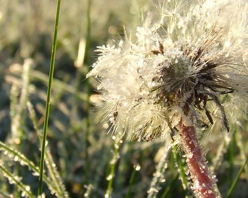 Dandelion frost - crop