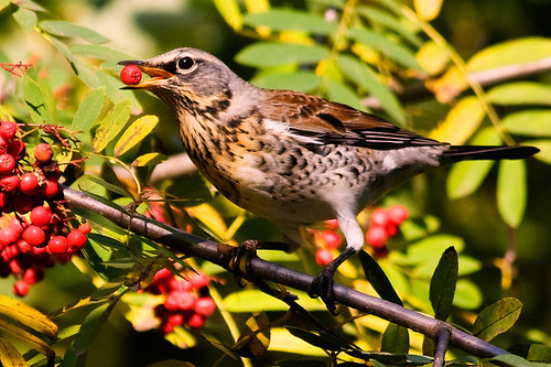 A fieldfare is geting ready for the season migration. Edited