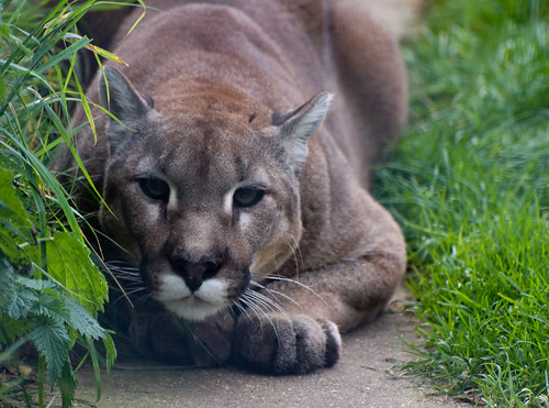 Cougar ready to pounce by Harlequeen, on Flickr