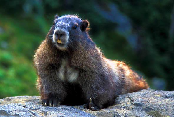 Closeup - Hoary Marmot