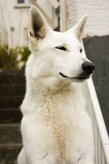 Waakhond? (Nathalie_s) Tags: dog white watch hond german shepard watchdog waakhond duitsescheper