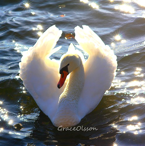 Swan looking to the life...mystake...
