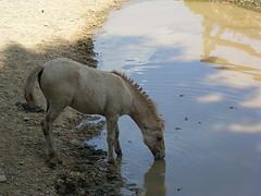 Schattentrnke (psychohase) Tags: wasser sommer schatten pferd fohlen tierkind