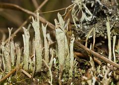 Cladonia cenotea 'Powdered Funnel Lichen' (dougwaylett) Tags: wild canada native alberta cladonia fruticose fruticoselichen brownloweryprovincialpark cladoniacenotea powderedfunnellichen