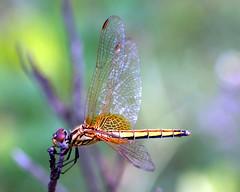 dragons tales (xeno(x)) Tags: macro art nature canon garden insect asia dragonfly explore 2008 xeno bej 40d mywinners aplusphoto ubej