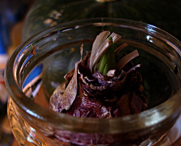 chilling hyacinth