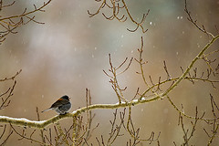 Nothing goes right (wildphotons) Tags: park junco nevada great snowstorm basin national juncohyemalis darkeyed impressedbeauty