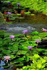 water lilies (docjabagat) Tags: flower water fountain beauty pond nikon waterlily lily lilies waterlilies d90 crocolandia mywinners pondwithlilies