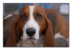 Release The Hounds. . . (Echo9er) Tags: dogs d50 nikon nikond50 tamron bassethound july4parade roywa nov08 dsc4684 tamronaf28300mmf3563xrdivcldasphericalif 20080704 tamron280300