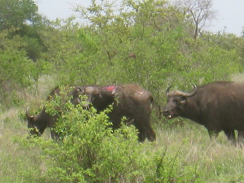 Freshly injured buffalo (probably attacked overnight by lions)