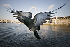 Pigeon (Jon Cartwright) Tags: uk england urban bird london nature westminster thames river fly flying wings nikon europe unitedkingdom britain pigeon dove wildlife flight feathers sigma londoneye wideangle southbank single getty ferriswheel 1020 flap charingcross countyhall westminsterbridge hover d300 joncartwright highqualityanimals