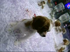 Puppies in the American Kennels store window (Jim Lambert) Tags: nyc newyorkcity usa ny newyork dogs us video puppies unitedstates manhattan 2008 videos shopwindows uppereastside lexingtonave lexingtonavenue east60s petstores december2008 fall2008 12032008 december32008 3december2008 americankennelsshop petshopwindows
