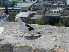 Pigeon of the Acropolis
