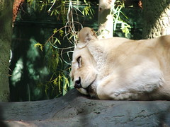 Lion in Siegfried & Roy's Secret Garden and Dolphin Habitat at the Mirage Las Vegas