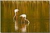 I miei amici degli stagni. (Roberto Click) Tags: life sardegna sunset nature water fauna nikon tramonto sardinia natura acqua riflessi animali cagliari fenicotteri stagno zoneumide naturaincontaminata nikond80 terramaini nginationalgeographicbyitalianpeople artedellafoto floraefaunadellasardegna