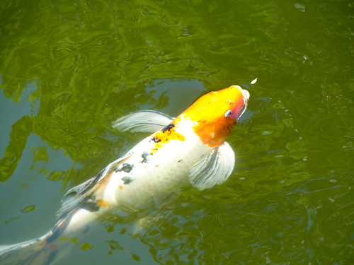 White and Orange Koi with Black Spots
