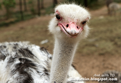 baby ostrich head
