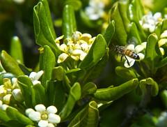 Landing permission granted Flower 47 (Andrea Maticevic) Tags: white flower macro verde green primavera insect spring flight bee landing volo ape fiore bianco insetto atterraggio pitosforo