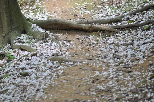 鋪滿油桐花的山徑