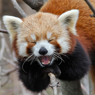 Yawning Red Panda