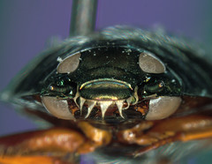 four-eyes (Trazy) Tags: beetle spot microscope whirligig photomicrograph waterinsect nikonsmz1500stereomicroscope gyrinid