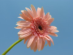 Pink gerbera with stem (DP|Photography) Tags: park city trip travel flowers trees winter light sunset sea summer vacation sky people urban usa baby india house lake holiday snow canada black mountains flower color macro tree cute bird art nature animals rock architecture kids night clouds canon garden landscape island photography photo spring tour photos gerbera pinkflower sunflower orissa pradhan debasish debashispradhan dpphotography debasispradhan odisha dp|photography