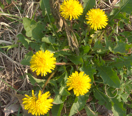 Dandelions in March