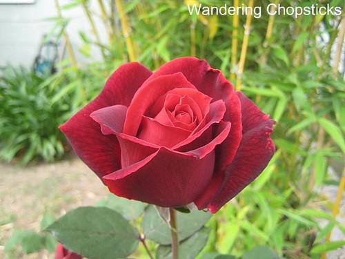 Identify My Rose 1