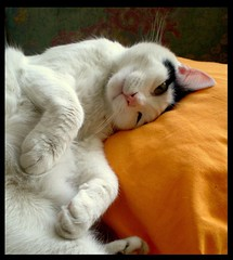Am I cute (sevgi_durmaz) Tags: pets cute beautiful beauty animal cat sweet sweetie cuties kissable prettykitty pamuk kissablekat bestofcats impressedbeauty
