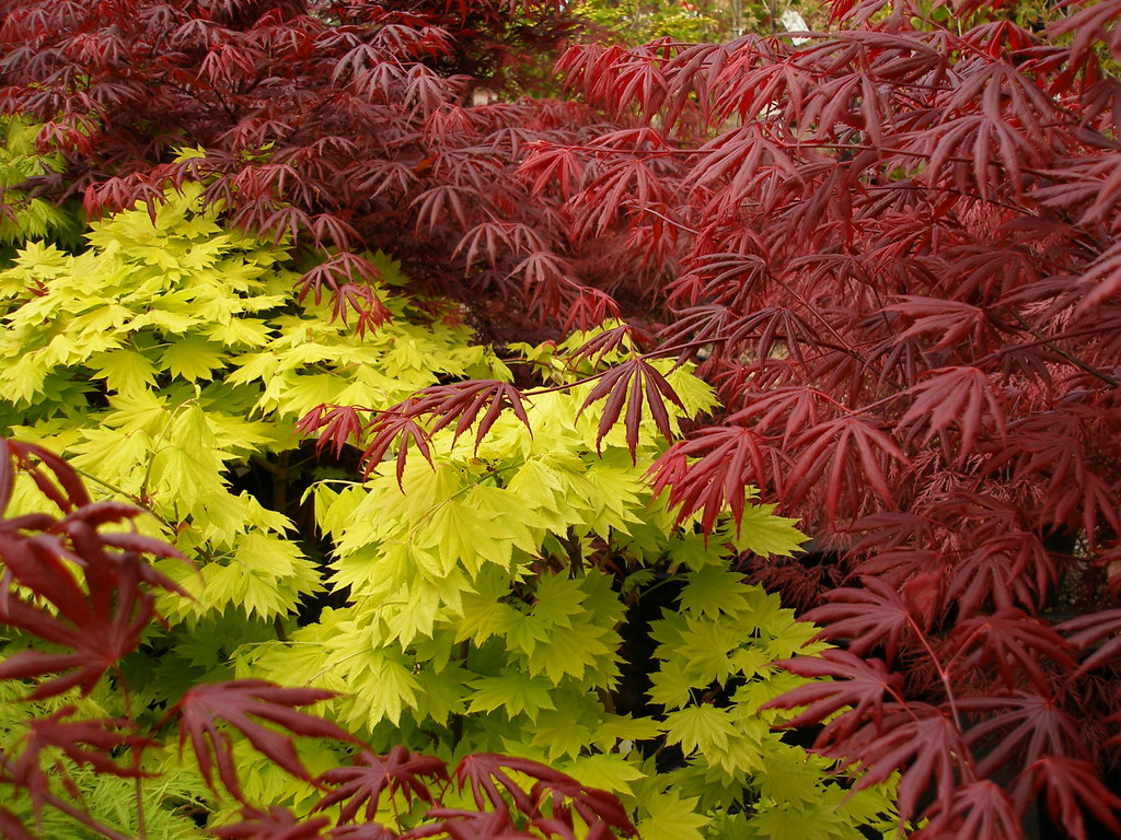 Briar Patch Japanese maples