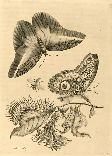 Merian - south american insect sketches