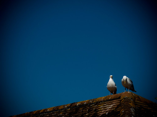 Shouty Gulls
